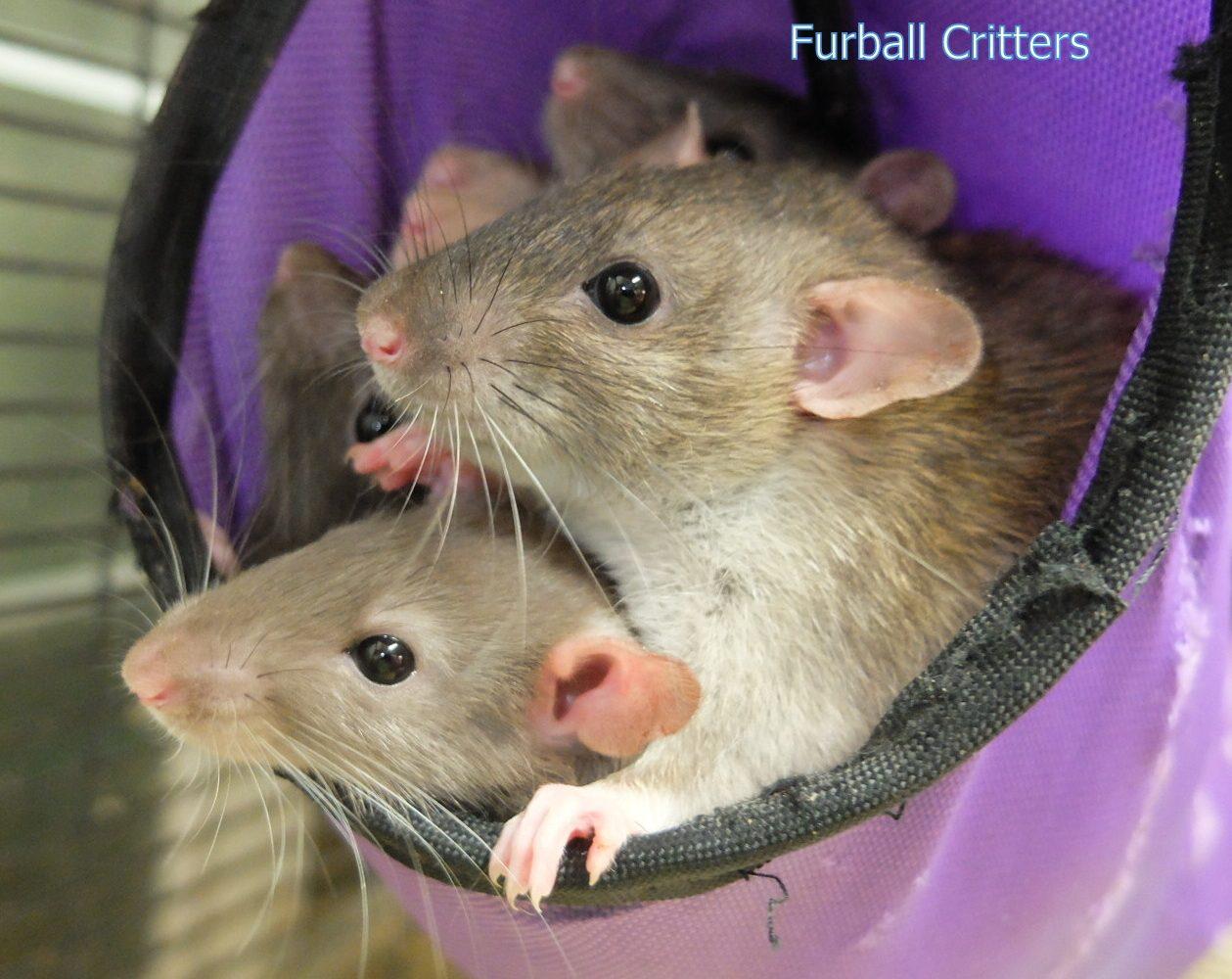 rats-1259x1000