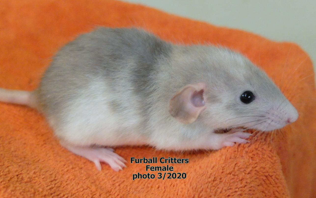 female rat5