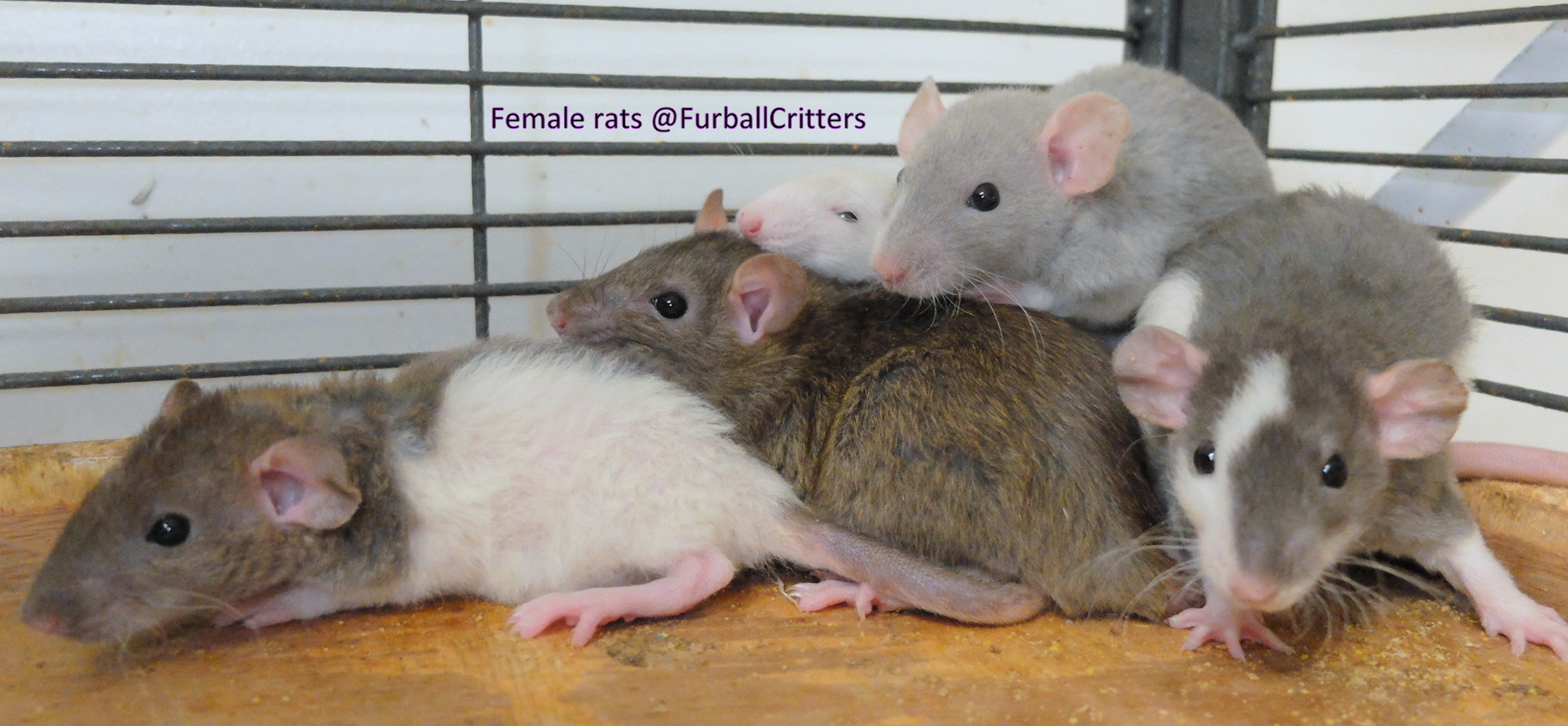 female rats on shelf