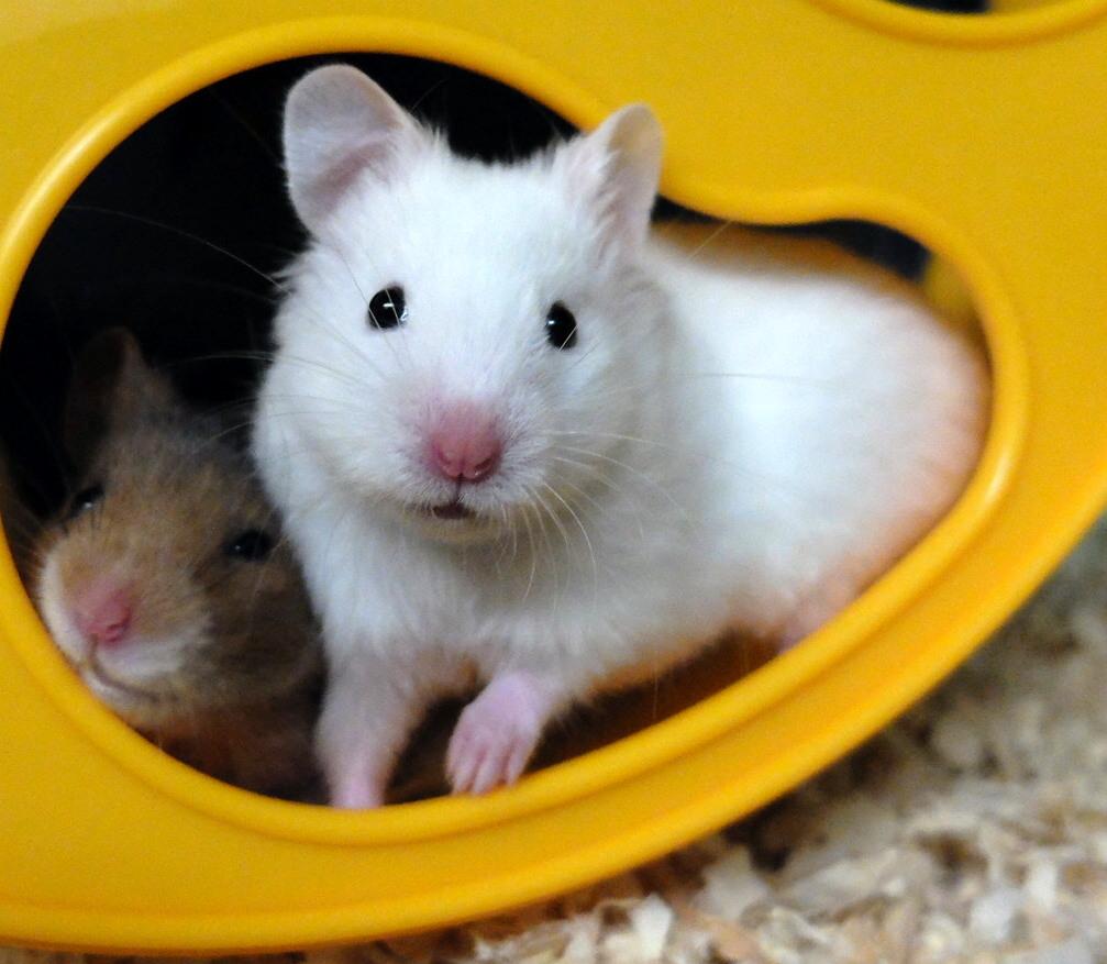 white female hamster